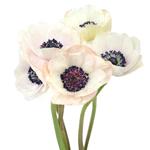 Wholesale Anenome Flower White
