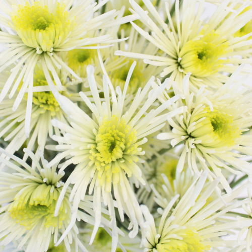 Starlight White Novelty Flower