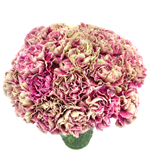 Antigua Cream and Berry Pink Carnation Flowers In a vase