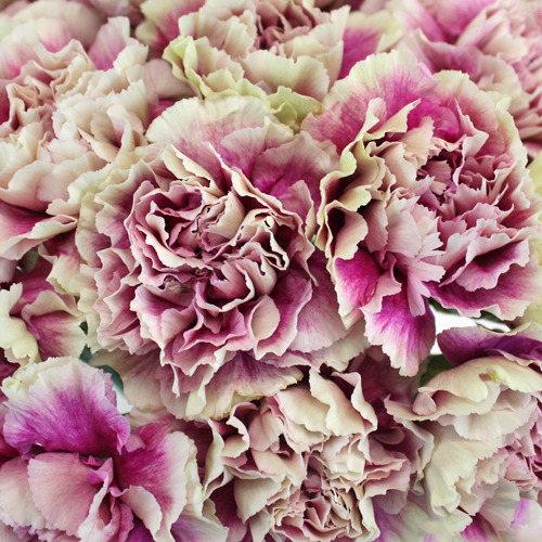 Antigua Cream and Berry Pink Wholesale Carnations Up close