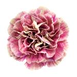 Antigua Cream and Berry Pink Carnation Flower Flatlay