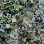 Antique Blue Jumbo Hydrangea Wholesale Flower Up Close