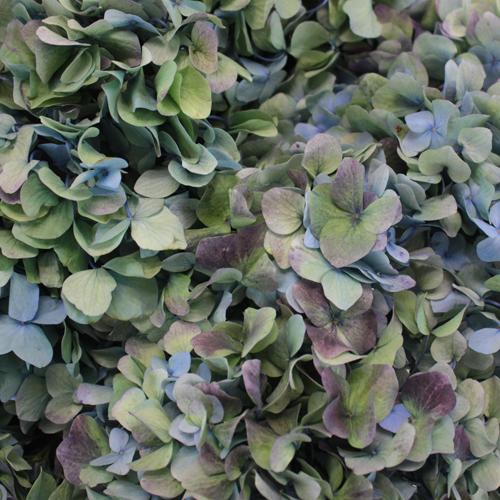 Antique Blue Jumbo Hydrangea Wholesale Flower Up Close