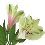 Antique Blush Alstroemeria Flower Stem View