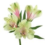 Antique Blush Alstroemeria Flower FlatLay