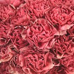 Antique Coral Carnation Flowers Up Close