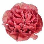 Antique Coral Carnation Flower FlatLay