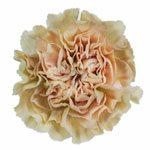 Antique Creamy Peach Carnation Flower FlatLay
