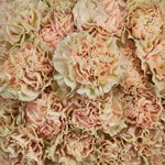 Antique Creamy Peach Wholesale Carnations Up close