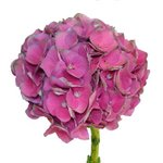 Antique Dutch Hydrangea Purple Pink wholesale Flower Up Close