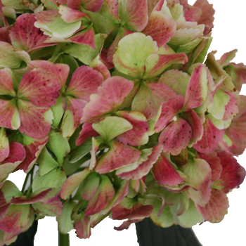 Antique Green Red Hydrangea Extra Large Flower Up Close