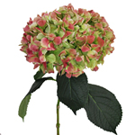 Antique Green Red Hydrangea Extra Large Stem View