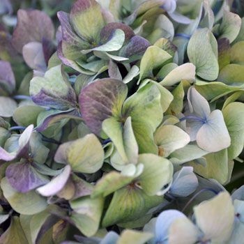 Antique Hydrangea Blue and Green Vintage Flower Up Close