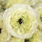 Antique Keepsake White Garden Roses up close