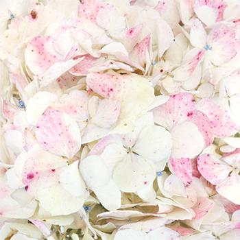 Pale Vintage Hydrangea Flower
