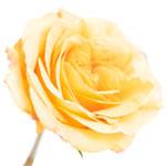 Antique Yellow Garden Rose Stem