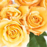 Antique Yellow Garden Roses up close