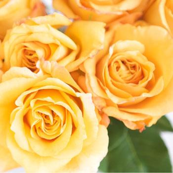 Antique Yellow Garden Roses up close