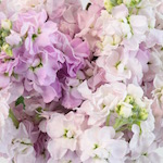 Apple Blossom Pinky Lavender Stock Wholesale Flower Upclose