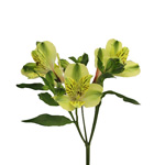 Apple Yellow alstroemeria Wholesale Flower Stem