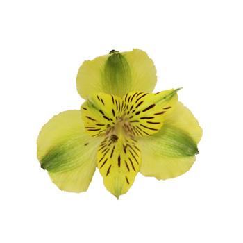 Apple Yellow Alstroemeria Flower Bloom
