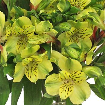 Apple Yellow alstroemeria Wholesale Flower Upclose