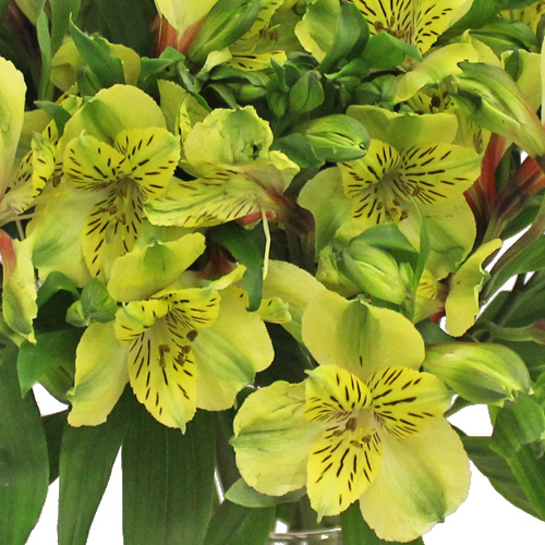 Apple Yellow alstroemeria Wholesale Flower Upclose