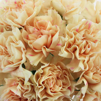 Apricot Peach Carnation Flowers