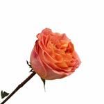 Apricot Blend Garden Rose Side Stem View