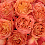 Apricot Blend Garden Roses up close