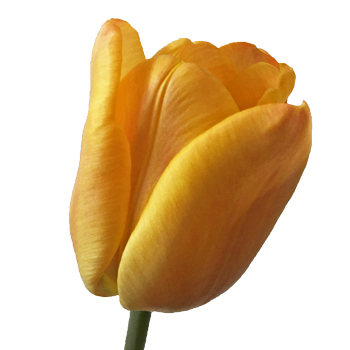 Apricot Fox Yellow Tulip Wholesale Flower Up close