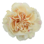 Apricot Peach Carnation Bloom