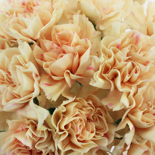 Apricot Peach Wholesale Carnations Up close