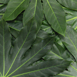 Wedding greenery aralia cut foliage leaves sold near me