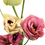 Medium Pink Lisianthus Flower