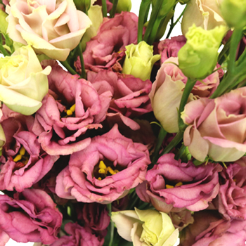 Dusty Rose Lisianthus Flower for October to May Delivery