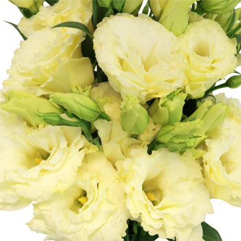 Champagne Lisianthus Flower for June to September Delivery