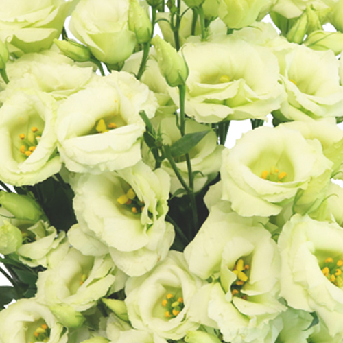 Mint Julep Lisianthus Mini Flower for October to May Delivery