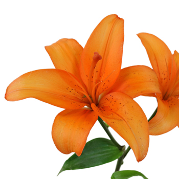 Orange Asiatic Lily Fiftyflowers