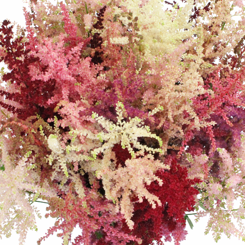 Assorted Astilbe Flower November to April
