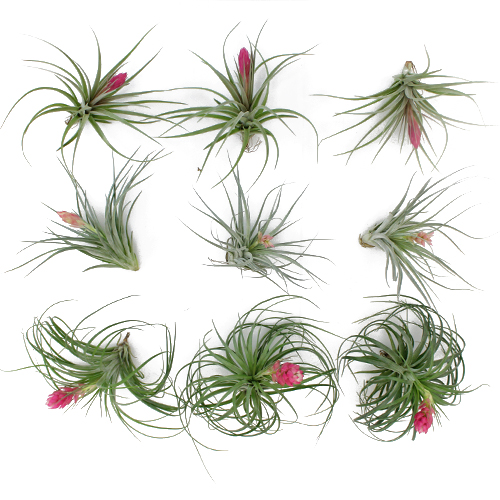 Flowering Air Plants for DIY Brides