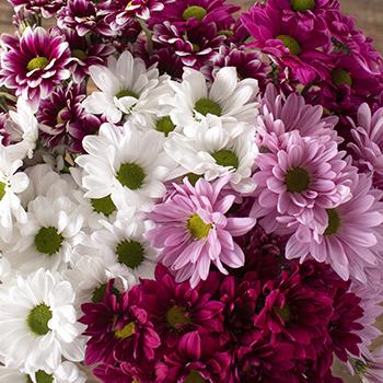 Color daisy poms wholesale flowers