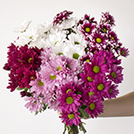 Color daisy poms bulk flowers