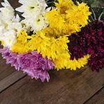 Assorted color pom daisy bulk wedding flowers