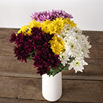 Assorted color pom daisy flowers for delivery