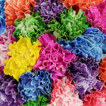 Assorted Dyed Farm Mix Wholesale Carnations Up close