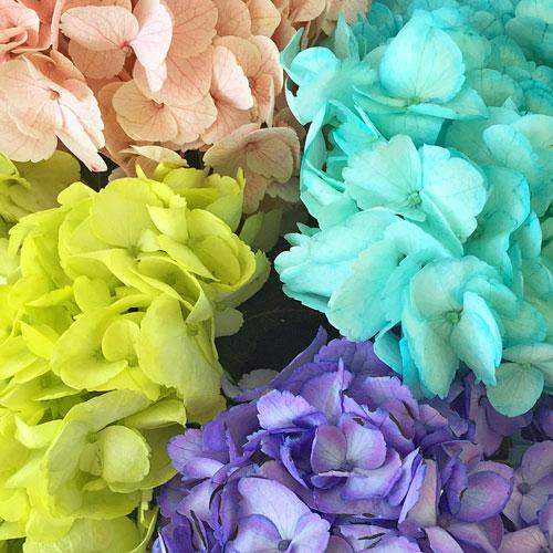 Assorted Enhanced Hydrangea Flower Up Close