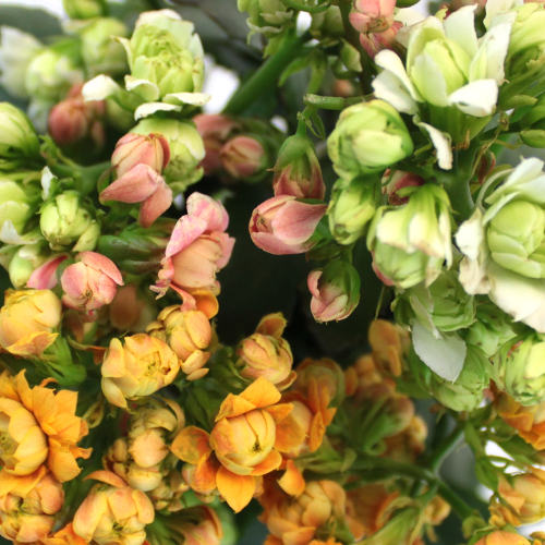 Assorted Flowering Kalanchoe
