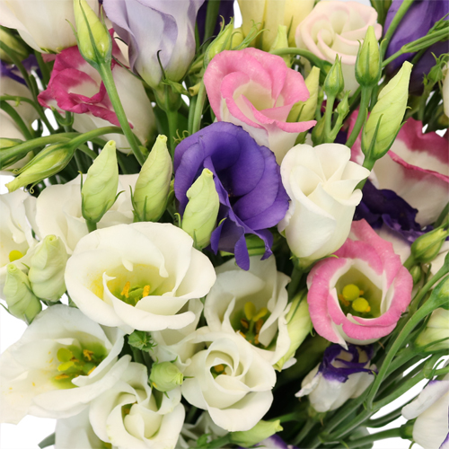Assorted Single Lisianthus Flower for June to September Delivery