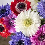 Assorted Rainbow Star Anemone Wholesale Flower Upclose